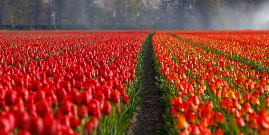 tulipany2